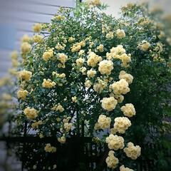 ゴーヤ/コデマリ/モッコウバラ/ハル 今年は早めにゴーヤの苗を植えました🎶 買…(6枚目)