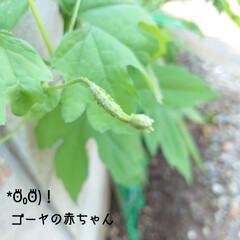 雌花/ゴーヤ/収穫/サヤインゲン/天ぷら おはようございます🔆🔅 今日も気温が上が…(1枚目)