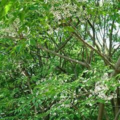 樹/散歩/グリーン 大木に小さな花が咲いていました😲 木の高…
