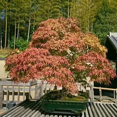盆栽園/日本庭園/盆栽 日本庭園の盆栽園の盆栽たちです 紅葉がだ…(3枚目)