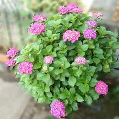 収穫/サヤインゲン/ブラックベリー/紫陽花 おはようございます☀︎*.。 ささやかな…(5枚目)