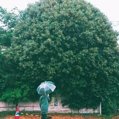 金木犀/絨毯/オレンジ色/おNEW/オモチャ/ハル/... 何処からともなく香ってくる金木犀の季節 …