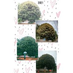 2018〜2021/ご近所/金木犀/放置/トトロの木? おはようございます さて!この🌳は何の木…(3枚目)