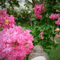 キバナコスモス/百日紅/いつもの公園/おでかけワンショット 涼しさに誘われて いつもの公園へ久しぶり…(9枚目)