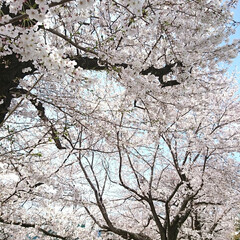 遊歩道/満開/満席/川辺/花見/桜吹雪/... えっ!?この間のup? ではありません🤗…(5枚目)
