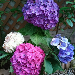 大輪/リベンジ/チャレンジ/挿し木/ご近所/紫陽花/... この間 地域活動でご近所さんと一緒になり…