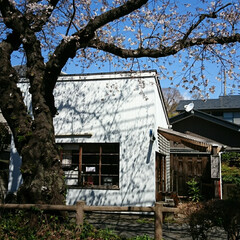 遊歩道/カフェ/お花見/桜/風景 毎年🌸を見て回る場所のひとつを🌸桜の様子…(5枚目)