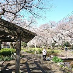 遊歩道/カフェ/お花見/桜/風景 毎年🌸を見て回る場所のひとつを🌸桜の様子…(2枚目)