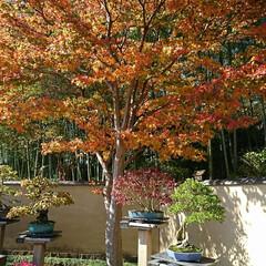 盆栽園/日本庭園/盆栽 日本庭園の盆栽園の盆栽たちです 紅葉がだ…(7枚目)