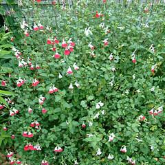 ハーブ/セージ/散歩/グリーン/公園 今朝も🐶の🚶💨で公園の草花を観察? あち…