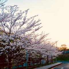夕暮れ時/桜/おでかけ 違う角度で! 図書館の敷地内で、駐車場ま…