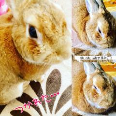 我が家の癒し/ウサギ/ペット まだ、朝だけど😅 遊び疲れたのね(*´꒳…