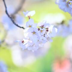 綺麗/春/春が来た/🍘/保育園で🌸さくらC組でした/さくら/... サクラサク🌸
