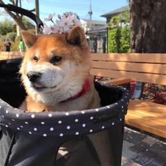 柴犬🐕/夢みる15歳🐕/コジロー♂🐕/公園のさくらと撮りました🌸/ワンワンカート🐕/大切なこどもです🐕/... 父ちゃんが ぼくに さくらの冠🌸を のせ…