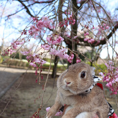 うさぎ/ネザーランドドワーフ/桜/春のフォト投稿キャンペーン/LIMIAペット同好会/LIMIAおでかけ部/... しだれ桜キレイだね🌸