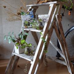 観葉植物植物/観葉植物/グリーン/DIY/雑貨/インテリア/... 『ラダーシェルフ for plants』…
