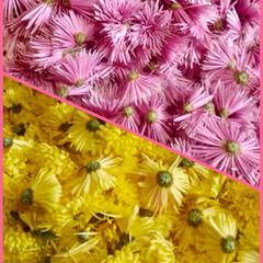 もってのほか/食用菊/もって菊/秋 食用菊、いーっぱい収穫しました。 お花を…(1枚目)