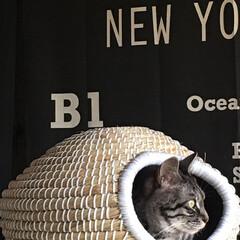 猫ちぐら/ペット/キャットハウス/猫/まぁ~るいつぼ ずっと興味が薄くて入らなかったのに、よう…