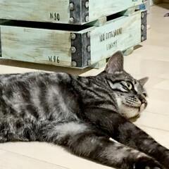 弾薬箱DIY/ウッドボックス/木箱/男前インテリア/愛猫/インテリア/... 今日は大雨になる予報☔️💦 朝からテンシ…