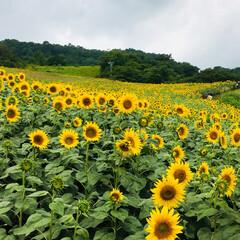 高原のひまわり🌻/福島県喜多方市三ノ倉高原/おでかけ 見渡す限りひまわり🌻🌻🌻🌻 曇り空の下、…