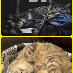 癒し/寝姿/猫のいる暮らし/ペット/猫 上段  ソラ 下段  里親さんのところで…