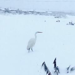 寒そう…/しらさぎ/白鷺/冬/風景 子供の送迎中に頻繁に見かける白鷺。 飛び…