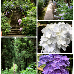 紫陽花/石段でクタクタ/参道は坂と石段と紫陽花と/紫陽花寺/おでかけ 長く続く参道には紫陽花がたくさん咲いてい…
