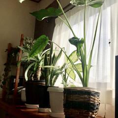 100均グリーン/物置部屋/グリーン/100均/インテリア 100均で買った小さな観葉植物が、とって…