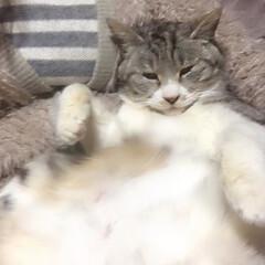 秋/ペット/猫 今朝もとても寒い… ニアのモフモフのお腹…
