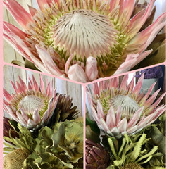 ドライフラワー/ハケアヴィクトリア/ワイルドフラワー/プロテア/バンクシア/キングプロテアピンク/... 可憐な花も好きだけど、 ネイティブフラワ…