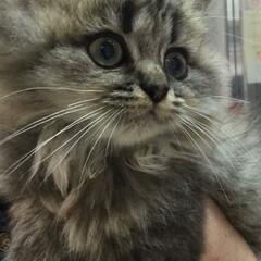 ペットショップでの出会い/猫/ペルシャ猫 生後3ヶ月のオスのペルシャ猫… すんごい…