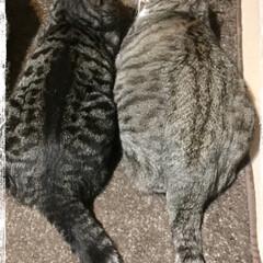 アイコンタクト/仲良し親子/LIMIAペット同好会/ペット/猫/にゃんこ同好会/... 並んで見つめ合う母と息子…  いつ見ても…