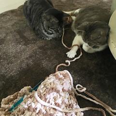 編み物/ペット/猫/100均/ダイソー 毛糸に反応する猫。楽しい😊 そっちに気を…