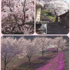 桜を愛でる/癒し/桜 ようやくこの辺も、桜が満開になり始めまし…