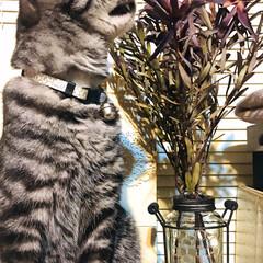 フラワーベース/リューカデンドロン/リューカデンドロ/ドライフラワー/ペット/猫/... 昨日の夕方、お気に入りのフラワーベースに…