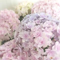 梅雨 一目惚れの紫陽花♡ テマリテマリ  なん…