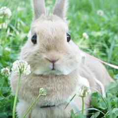 うさぎのいる生活/うさぎのいる暮らし/ピーターラビット/ふわもこ部/bunny/Rabbit/... うさんぽ🌻 しろつめくさをぺろりしたよ😊