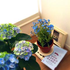 グリーン/梅雨/ボタニカル/紫陽花/薔薇/住まい/... 青が綺麗で昨年蚤の市で