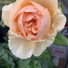 薔薇/ばら/禅ローズ/いいねありがとうございます/会社/駐車場 会社の禅ローズが咲きました。 真宙(まそ…(1枚目)