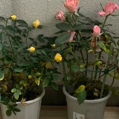 薔薇/バラ/ベランダガーデン/いいねありがとうございます おはようございます。  我が家の新入りさ…