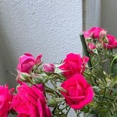 バラ/薔薇/いいねありがとうございます 我が家も今年、第二弾!  咲きました。