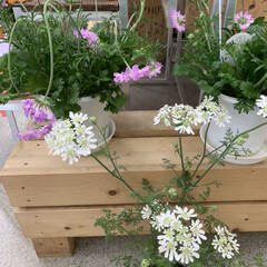 花のある暮らし/いいねありがとうございます/暮らし 娘に花をもらいました。  白い方の花です。