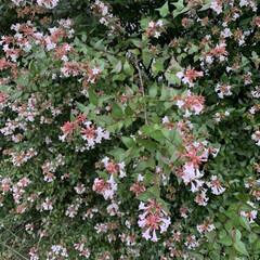 散歩/いいねありがとうございます この頃見かけるこの花、羽衣ジャスミンです…