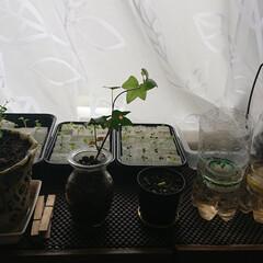 野菜栽培/水耕栽培/ペットボトルリサイクル/プチガーデニング 水菜、ミックスレタス、小松菜等を水耕栽培…