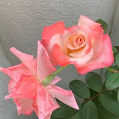 薔薇/いいねありがとうございます 昨年秋に購入したバラがやっと咲きました💕