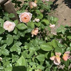 ばら園/薔薇/蔵王 蔵王に行って来ました。