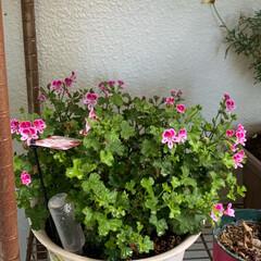 ベラルゴニウム/ベランダガーデン/ベランダガーデニング/花のある暮らし/いいねありがとうございます おはようございます。  昨日の母の日は素…