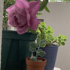 ベランダガーデニング/薔薇/いいねありがとうございます バラが咲いた❣️バラが咲いた❣️  紫の…