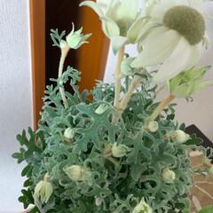 花のあるくらし/花のある生活/フランネルフラワー/いいねありがとうございます/花のある暮らし 今日、一目惚れして購入しました。
