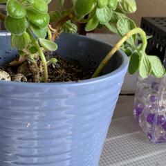 アロマフィカス/観葉植物/賃貸住宅/いいねありがとうございます おはようございます。  アロマフィカスを…